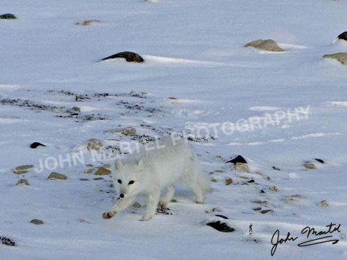 john-martel-arctic-fox-in-snow