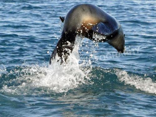 john-martel-fur-seal-jumping