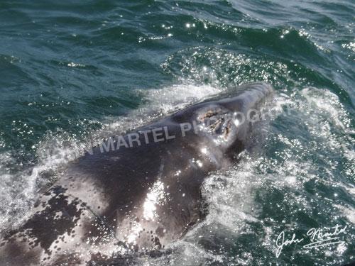 john-martel-grey-whale-blowhole