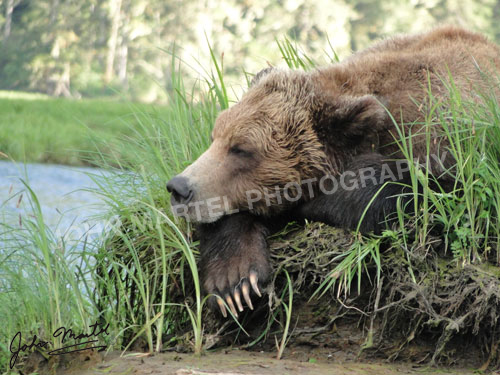 john-martel-grizzly-sleeping