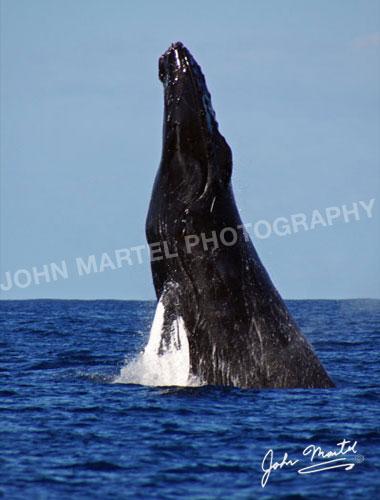 john-martel-humpback-whale-breaching
