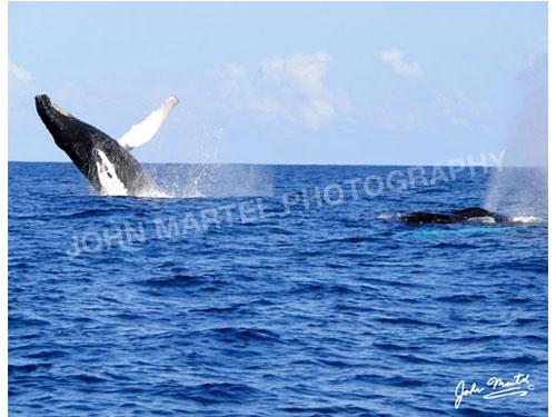 john-martel-humpback-whales