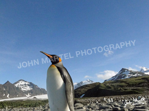 john-martel-king-penguin-scenery