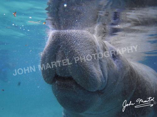 john-martel-manatee-investigating