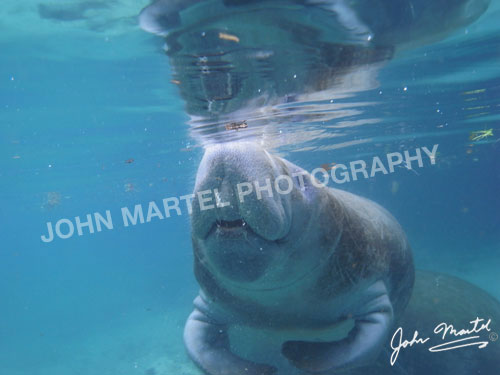 john-martel-manatee-juvenile-breathing
