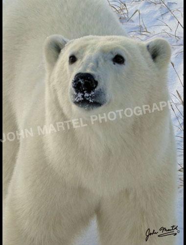 john-martel-polar-bear-closeup