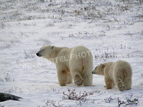 john-martel-polar-bear-mom-cub