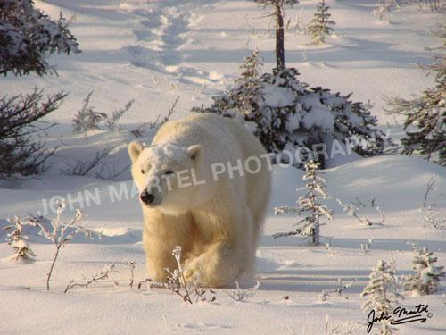 john-martel-polar-bear-snowy-front