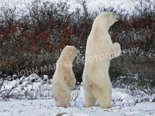 john-martel-polar-bears-standing