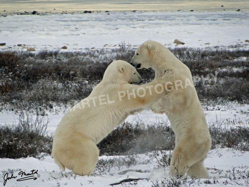 john-martel-polar-bears-tussling