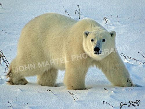 john-martel-polar-walking-sideways