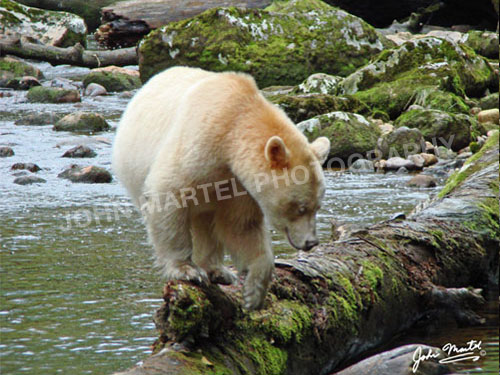 john-martel-spirit-bear-leaving-log