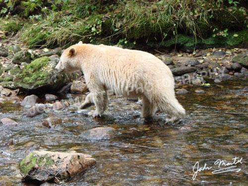 john-martel-spirit-bear-walking-away