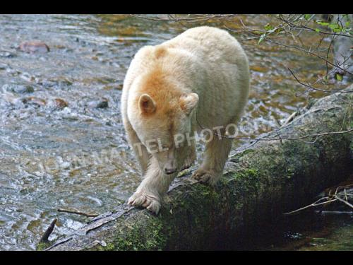john-martel-spirit-bear-walking-log