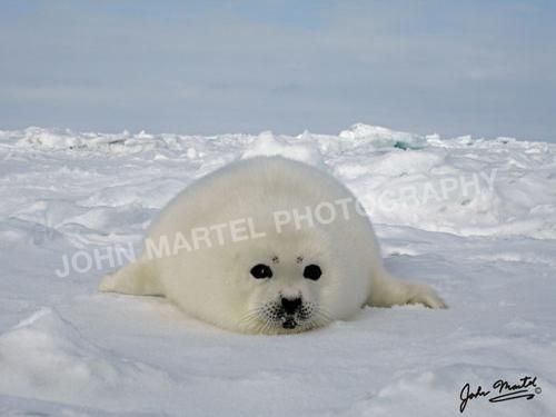 john-martel-white-seal