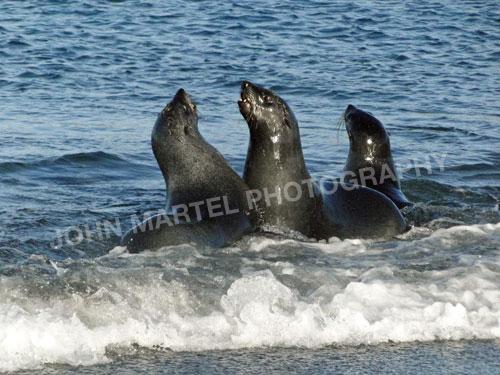 john-martel-young-fur-seals-surf